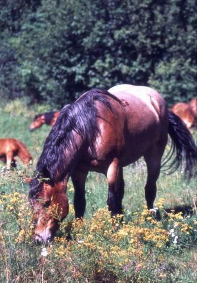 Obrázok Kôň norik 2